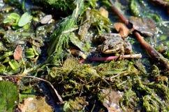在池塘关闭的青蛙 免版税库存照片