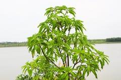 在池塘前面的芒果树 图库摄影