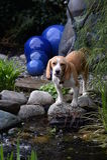 在池塘前面的逗人喜爱的小猎犬狗有蓝色陶瓷球的 免版税库存照片