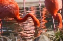 在池塘反映的橙色火鸟 库存图片