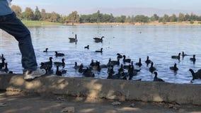 在池塘吃面包片的水禽 影视素材