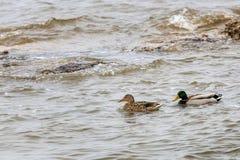 在池塘和谈话附近的两只鸭子游泳 免版税库存图片