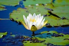 在池塘图片的白莲教花 免版税库存图片