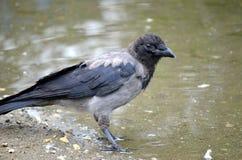 在池塘岸的乌鸦 免版税库存照片