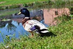 在池塘岸的美丽的野生公鸭子  库存图片