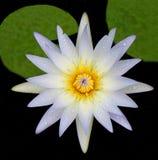 在池塘开花与露水和绿色叶子的水白百合 免版税库存图片