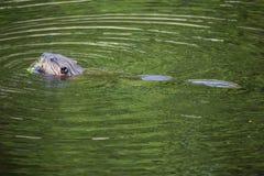 在池塘慢慢移动游泳,吃,在Southford秋天, Southbury, 库存图片