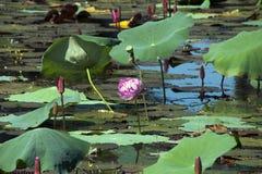 在池塘打开在睡莲叶中的桃红色荷花花 免版税图库摄影