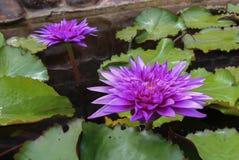 在池塘打开的紫色莲花 免版税图库摄影