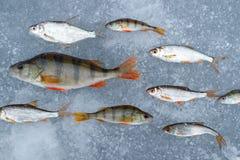 在池塘抓的淡水鱼计划在冰,在另一个方向排队的其中一条的行鱼是f的运动 免版税图库摄影
