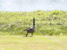 在池塘旁边的一只鹅 免版税库存图片