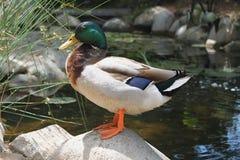 在池塘旁边的五颜六色的野鸭外形 图库摄影