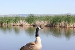 在池塘旁边的加拿大鹅 免版税图库摄影