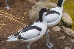 在池塘旁边的染色长嘴上弯的长脚鸟, Recurvirostra avosetta 库存照片