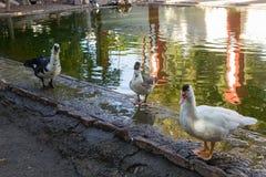 在池塘旁边的鸭子立场 免版税库存图片
