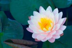 在池塘桃红色颜色,美好的自然安静的莲花 免版税库存照片