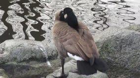 在池塘水边缘的逗人喜爱的冬天加拿大鹅待命本身  影视素材