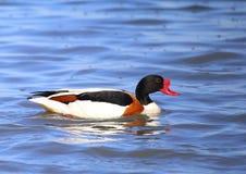 在池塘沐浴的美丽的明亮的鸭子 库存照片