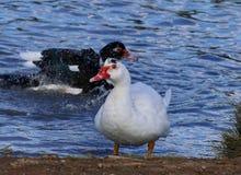 在池塘沐浴的美丽的明亮的鸭子 图库摄影
