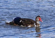 在池塘沐浴的美丽的明亮的鸭子 库存图片