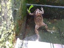 在池塘游泳的池蛙水是确切 免版税库存图片