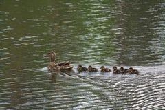 在池塘照顾与她新出生的子孙游泳的鸭子 库存图片