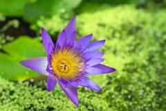 在池塘特写镜头的花紫色莲花 库存照片