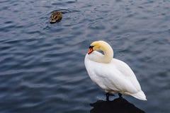 在池塘的一只天鹅 库存图片