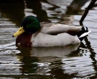 在池塘的一只野鸭 库存照片