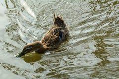 在池塘的一只鸭子 库存照片