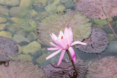 在池塘的一朵兰花 免版税图库摄影