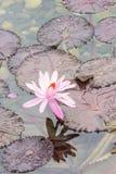 在池塘的一朵兰花 免版税库存图片