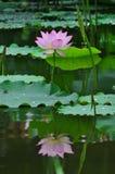 在池塘的一朵莲花。 免版税图库摄影