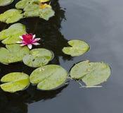 在池塘的一朵莲花 免版税库存照片