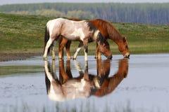 在池塘的两匹野生美丽的马 库存照片