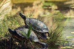 在池塘的两只乌龟 免版税库存照片