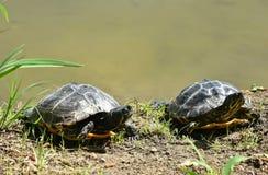 在池塘的两只乌龟 库存图片