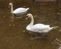 在池塘的两只天鹅 库存图片
