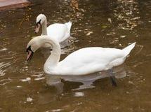 在池塘的两只天鹅 免版税库存照片
