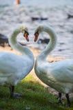 在池塘的两只天鹅 库存照片