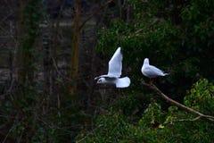 在池塘的两只海鸥 免版税库存图片