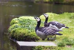 在池塘的两只鸟 免版税库存照片