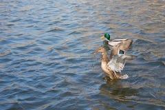 在池塘的两只鸭子 在水的阳光 春天 在移动的翼, 库存图片