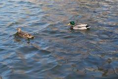在池塘的两只鸭子 在水的阳光 春天 在移动的翼, 免版税库存照片