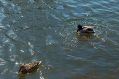 在池塘的两只鸭子 在水的阳光 春天 免版税库存图片