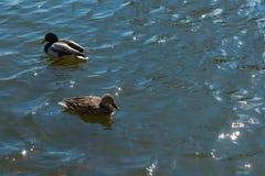 在池塘的两只鸭子 库存图片