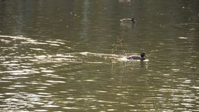 在池塘的公野鸭鸭子 股票视频