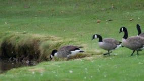 在池塘的加拿大和灰雁 影视素材
