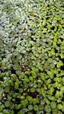在池塘的叶子 免版税库存照片
