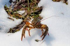 在池塘的多雪的岸的小龙虾在一个晴朗的春日 库存图片